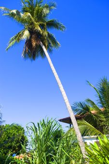 Free Coconut Tree Stock Photos - 7832173