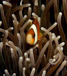 Free Clown Anemonefish Stock Photos - 7832343
