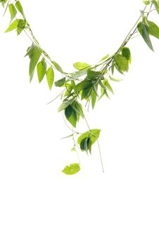Free Green Leaf Royalty Free Stock Images - 7832909