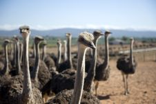 Ostrich Of South Africa Royalty Free Stock Images