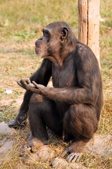 Free Chimpanzee Stock Photography - 7833712