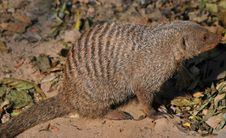 Free Banded Mongoose Stock Photography - 7833862