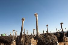 Ostrich Of South Africa Royalty Free Stock Photos