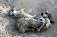 Free Meerkat Royalty Free Stock Photography - 7834977