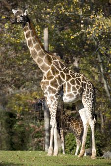 Giraffe With Baby Royalty Free Stock Image