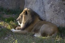 Free Male Lion Royalty Free Stock Photos - 7835448