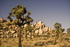 Free Joshua Trees Royalty Free Stock Images - 7836489