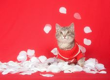Free Kitten With Red Sweater And Rose Petals Royalty Free Stock Photography - 7836507