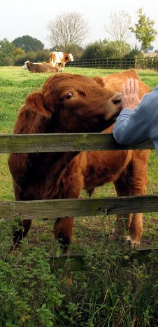 Free Highland Cattle In England Royalty Free Stock Photos - 7837028