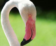 Free Flamingo Portrait, Close Up Stock Photos - 7837473