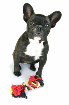 Free French Bulldog Royalty Free Stock Photos - 7837528