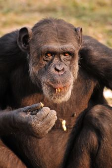 Free Chimpanzee Stock Images - 7839304