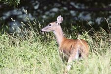 Free White-tailed Deer Doe Royalty Free Stock Photo - 7839305