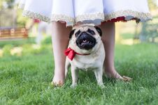Pug On Wedding Standing With Bride Royalty Free Stock Photos
