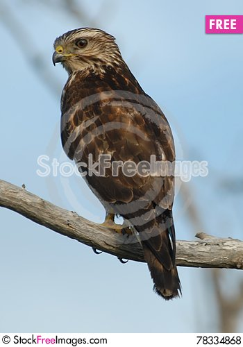 Free Small Reddish Hawk On Branch Royalty Free Stock Photos - 78334868