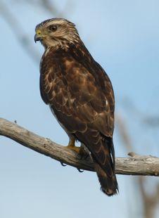 Free Small Reddish Hawk On Branch Royalty Free Stock Photos - 78334868