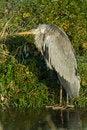 Free A Grey Heron In Winter Royalty Free Stock Photos - 7847428