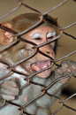 Free Monkey Royalty Free Stock Photography - 7847607