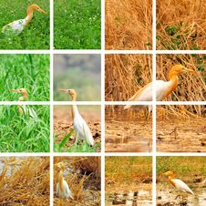 Free Egret Collage Royalty Free Stock Photo - 7840275