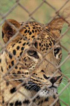 Free Leopard Stock Photo - 7841440