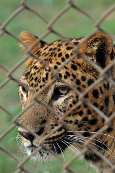 Free Leopard Royalty Free Stock Photo - 7841455