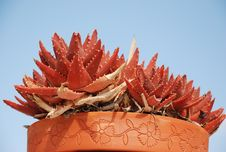 Free Red Aloe Vera Stock Photography - 7841592