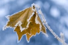 Free Frozen Leaf. Royalty Free Stock Photography - 7841887