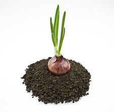 Free Red Onion On Soil Stock Image - 7842081