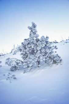 Free Frozen Fir-tree Stock Photography - 7842632
