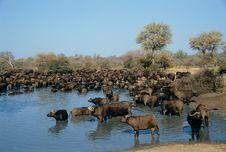 Group Of Buffalo Stock Image