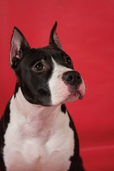 Portrait Of Staffordshire Terrier Stock Photo
