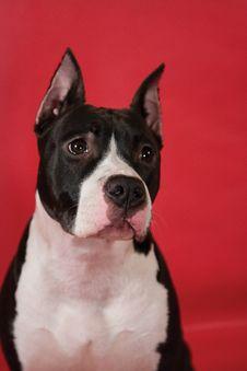 Portrait Of Staffordhire Terrier Royalty Free Stock Photos
