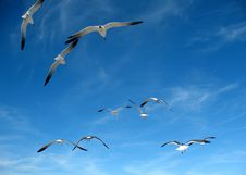 Free Seagulls Stock Images - 7843834
