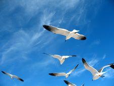 Free Seagulls Royalty Free Stock Image - 7843896