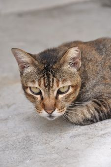 Cat Glaring Royalty Free Stock Photography