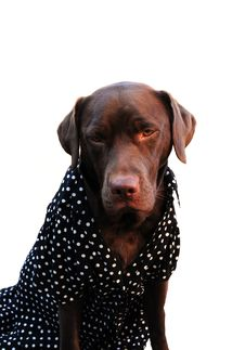 Free Labrador In A Dress Stock Photo - 7844790