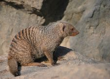 Free Banded Mongoose Stock Photography - 7845132