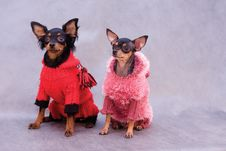 Free Two Russian Toy Terrier In Clothes Stock Photo - 7845230