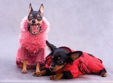Free Two Russian Toy Terrier In Clothes Stock Photos - 7845233