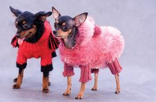 Free Two Russian Toy Terrier In Clothes Stock Image - 7845251