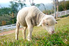 Free Sheep Royalty Free Stock Image - 7845676