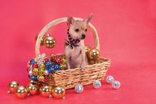 Free Toy Terrier In Basket Stock Images - 7845844