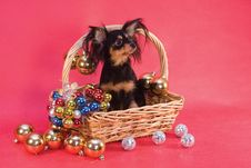 Free Toy Terrier In Basket Stock Photos - 7845863