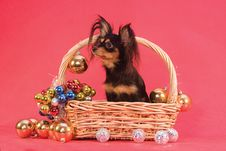 Free Toy Terrier In Basket Stock Photography - 7845932