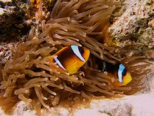 Anemone Fish On The Reef Stock Image