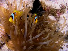 Anemone Fish On The Reef Stock Photography