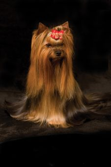 Free Yorkshire Terrier Stock Images - 7846784