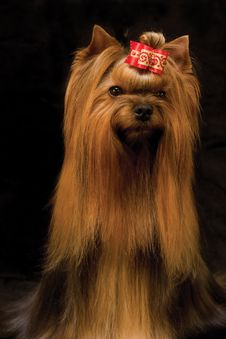 Free Yorkshire Terrier Royalty Free Stock Photos - 7846788