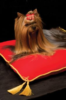 Free Yorkshire Terrier On Red Pillow Stock Image - 7846851