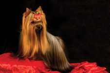 Free Yorkshire Terrier Stock Image - 7846861